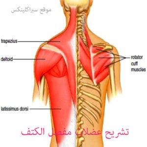 عضلات مفصل الكتف