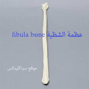 عظمة الشظية fibula bone