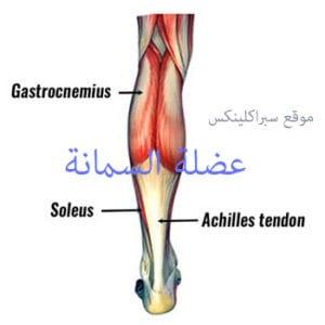 عضلة السمانة calf muscle